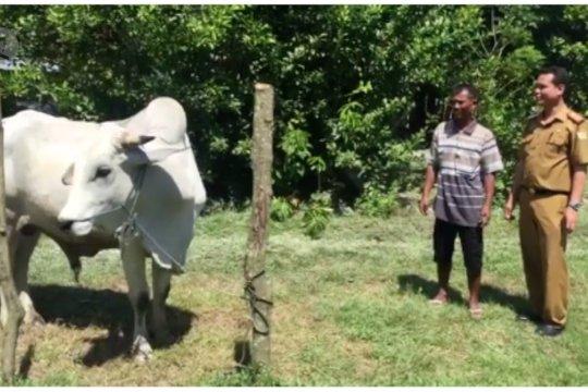 Peternak Konawe bangga sapinya dibeli Presiden