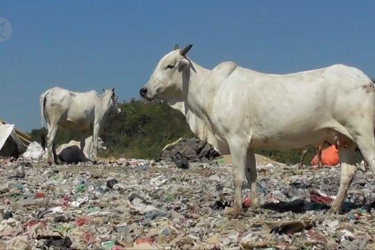 Disnakkeswan Jateng waspadai peredaran sapi TPA jelang Idul Adha