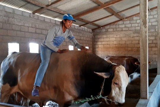 Jokowi pesan dua ekor sapi jumbo untuk warga Solo