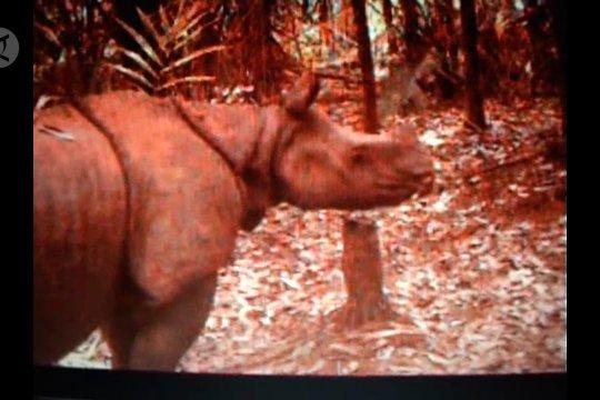 Perlunya habitat kedua agar badak Jawa tidak punah