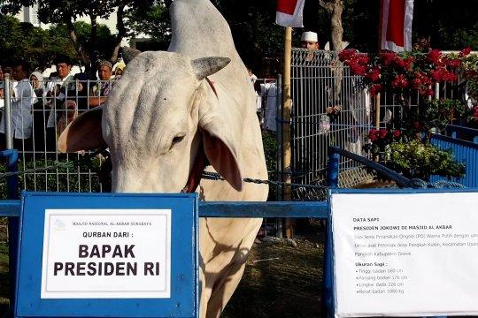 Presiden berkurban sapi di Masjid Al Akbar, Surabaya
