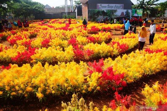 Warna-warni taman bunga Celosia di Kudus