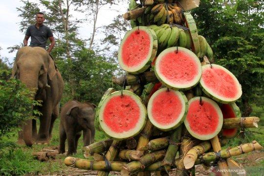 Perayaan 40 hari kelahiran gajah jinak di CRU Alue Kuyun Aceh Barat