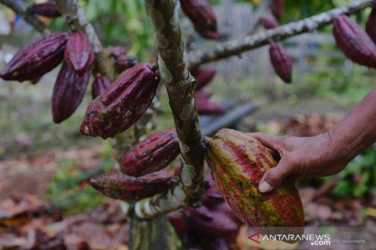 Kakao Ransiki Papua butuh investor untuk peremajaan, guna raih ekspor