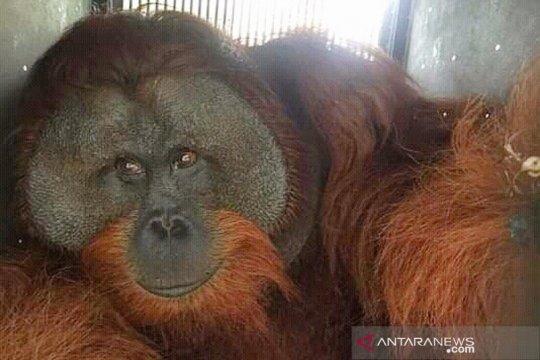 BKSDA Kalteng translokasi orangutan seberat 90 kilogram