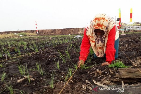 Kalteng tanam padi di lahan gambut