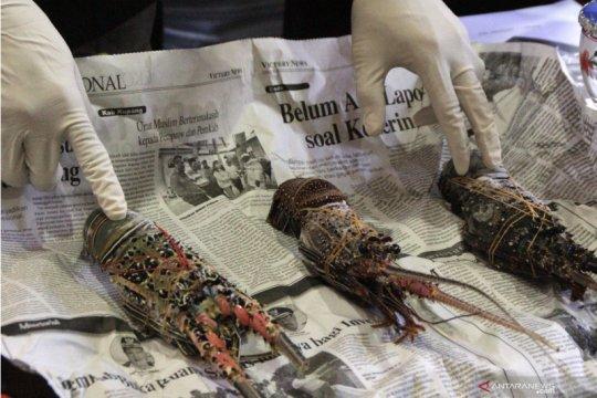 Polisi amankan nelayan NTB tangkap lobster tanpa izin di perarian NTT