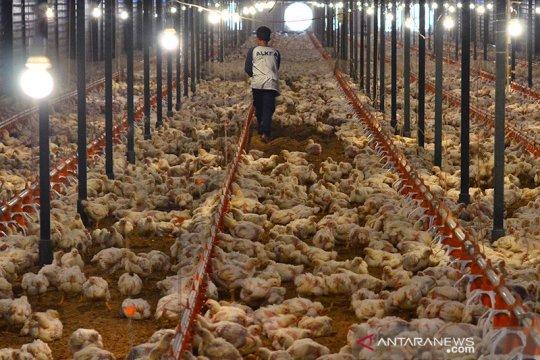 Indonesia perbarui peraturan impor ayam terkait gugatan Brasil