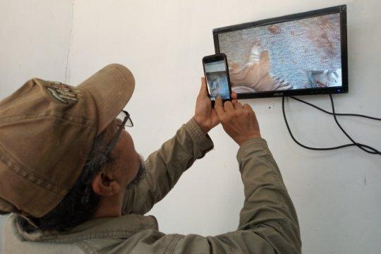"""Taman Satwa Lembah Hijau siap rawat harimau sumatera """"Batua"""""""