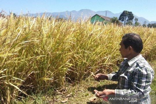 Pemkab Garut optimistis produksi padi aman meski ada serangan hama
