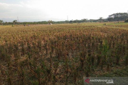 Puluhan hektare sawah di Batang rawan gagal panen