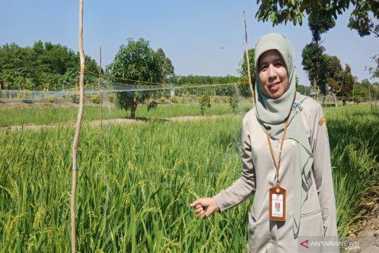 Gelorakan pengelolaan lahan rawa pasang surut ramah lingkungan