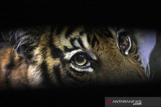 Harimau Sumatera diduga ikut terbakar saat kebakaran hutan