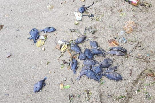 Kematian ikan di Pantai Ambon bukan pertanda akan gempa dan tsunami