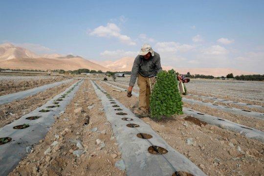 Petani Palestina diusir dari kebun zaitun mereka di selatan Nablus