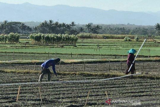 Petani di Gunung Kidul waspadai hama ulat grayak