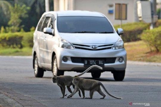 Monyet dari suaka margasatwa Muara Angke memasuki permukiman warga