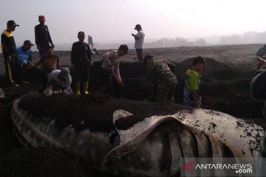 Warga pesisir selatan evakuasi hiu paus terdampar