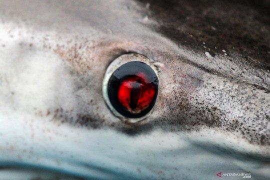 Perdagangan ikan hiu di Aceh