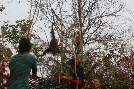 BKSDA Kalbar-IAR Indonesia selamatkan dua orangutan dilokasi karhutla