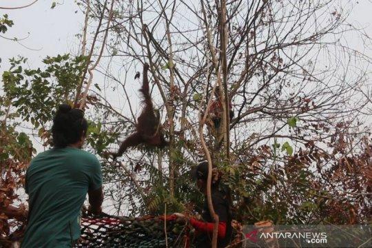 BKSDA Kalbar-IAR Indonesia selamatkan dua orangutan di lokasi Karhutla