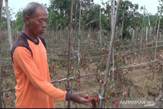 Harga tomat di sentra produksi Magetan anjlok