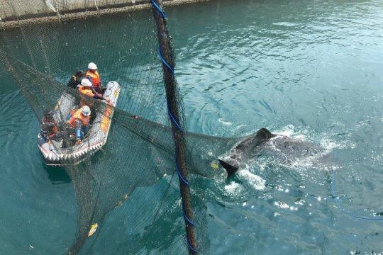 "Tim Rescue Shark Paiton evakuasi Hiu Paus dengan ""Animal Wefare"""