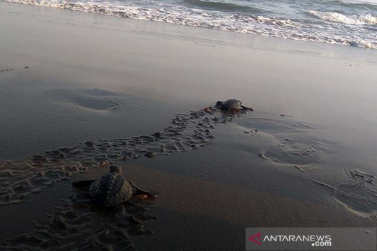 30 tukik lekang dilepasliarkan di Pantai Sodong Cilacap