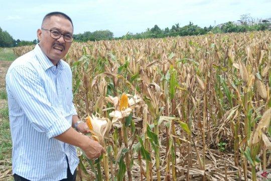 Optimalisasi lahan rawa jaga produksi padi di musim kemarau panjang