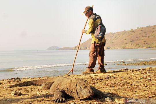 Populasi komodo di Pulau Komodo