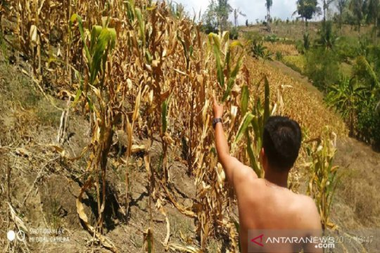Sejumlah petani di Sigi terpaksa jadi buruh royek, akibat gagal panen