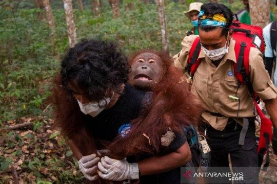 Satu orangutan di Kalbar kembali diselamatkan BKSDA-IAR Indonesia