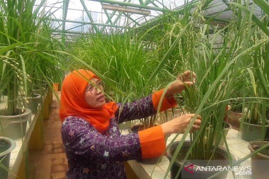 LIPI perkenalkan varietas unggul padi gogo pada Hari Tani Nasional