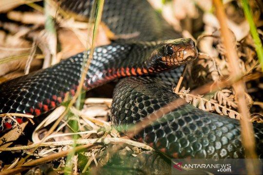 """Pria Australia temukan ular hitam perut merah yang dinamainya """"Chonk"""""""