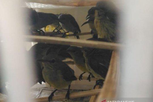 BKP Pangkalpinang gagalkan penyeludupan ratusan colibri