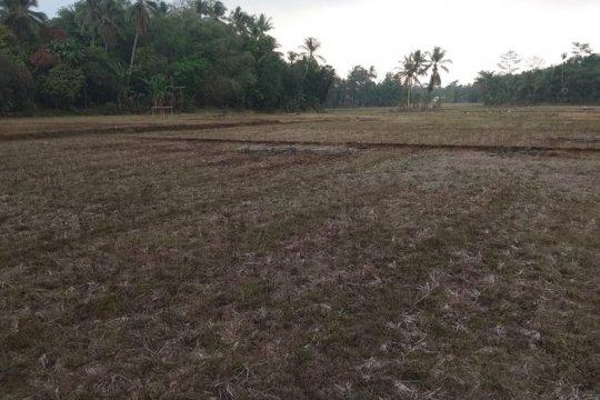 454 hektare sawah di Lebak Banten gagal panen