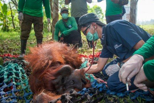 BKSDA-IAR Indonesia selamatkan satu orangutan korban kebakaran