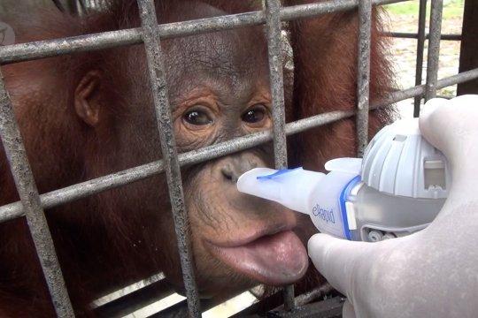 Puluhan orangutan Nyaru Menteng terinfeksi ISPA
