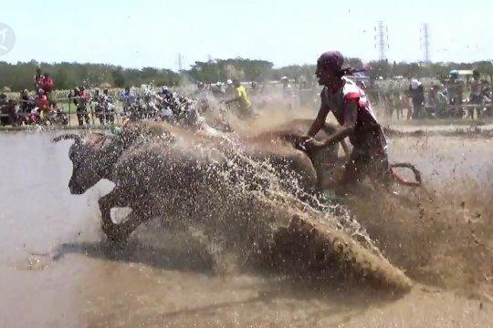 Saat sapi pembajak sawah mengikuti festival
