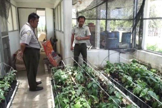 Pulihkan ekonomi petani dengan bibit kopi Arabica