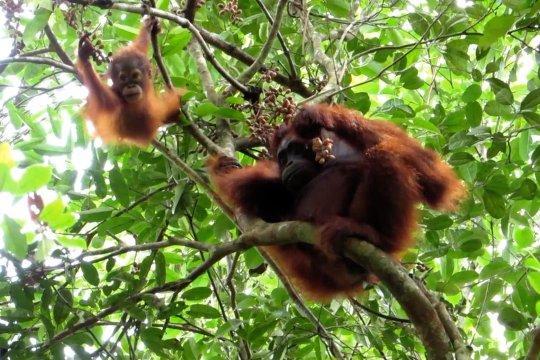 Belasan orangutan di Kalteng terpapar kabut asap