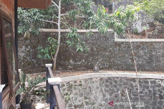 Kawanan monyet ekor panjang rusak ketela milik petani Gunung Kidul