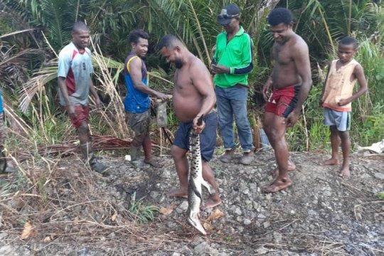 Warga tangkap buaya endemik Danau Sentani di Kampung Toware