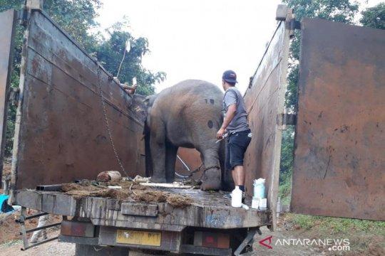 BKSDA Jambi kembalikan tiga gajah sumatera ke habitatnya