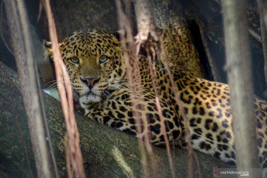 Kebun Binatang Bandung berencana potong rusa untuk pakan hewan