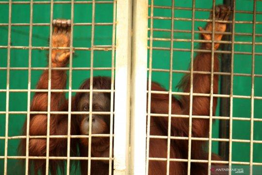 Penyelamatan Orangutan di IAR Ketapang