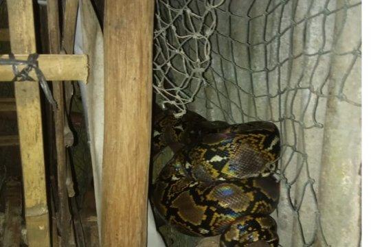 Damkar Belitung evakuasi ular piton dari kandang ayam