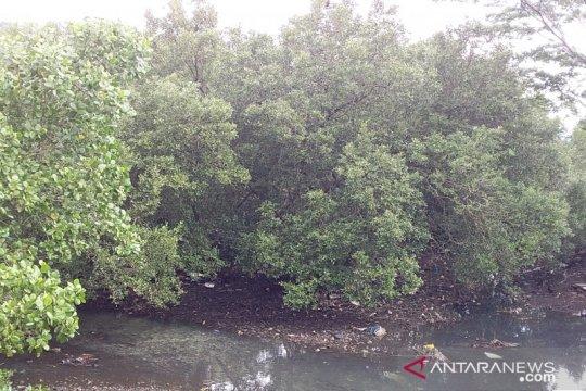 TNI AL tanam 3.000 bibit mangrove