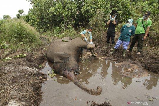 Luka akibat jerat picu infeksi yang mematikan Gajah Dita