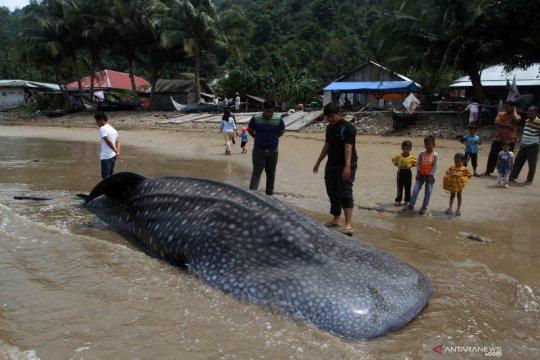 BPSPL Padang ambil sampel hiu paus terdampar di Pesisir Selatan